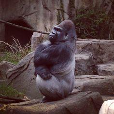 Gorilla @ The Cincinnati Zoo!