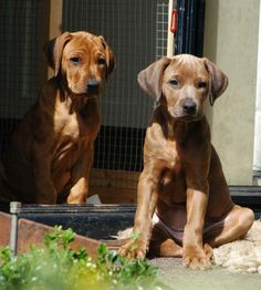 rhodesian ridgeback puppies, left is red wheaten with a black nose and right is diluted coloring...