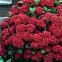 "Unusual ""Lady in Red"" Hydrangea - a compact grower that prefers partial sun. Dramatic foliage color in the fall."