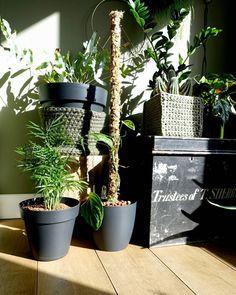 | MOSPAAL  Ik heb voor het eerst een mospaal gemaakt! M'n Philodendron opacum (ook wel Monstera karstenianum genoemd) was goed gegroeid en deze wil ik graag laten klimmen! Maar ben niet helemaal tevreden met de mospaal, hij droogt erg snel uit, misschien te dun? In de pijp had ik vooraf hele kleine gaatjes geboord, zodat ik van bovenaf water in de paal kan gieten, maar het stroomt er nog te hard uit.😏 Wie heeft tips hoe ik het de volgende x beter kan doen?
