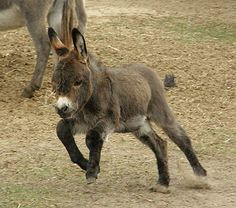 Hawkwinds Whirlaway - Dark Brown Miniature Donkey Foal