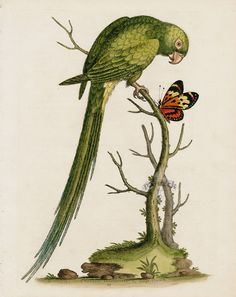 Long-tailed Green Parakeet, American West Indies from George Edwards Antique Parrot Prints 1743