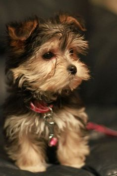 My Morkie will look a little bit like this one but with more black on his face - I have decided to name him Patchouli ♥