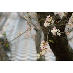 【ayaneco8824】さんのInstagramをピンしています。 《Oct 23,2016*🌆。 * 狂い咲きやのに、春より色がきれいかも (pq*´꒳`*)*。⋈˖° * * #_lovely_weekend  #my_daily_flower  #japan_daytime_view  #jp_gallery #airy_pics #team_jp_西  #bestjapanpics #lovers_nippon #IGersJP #team_jp_flower #wu_japan #ptk_flowers #japan_of_insta #instaflower  #team_jp_skyart #flowerstagram  #photo_shorttrip #ptk_japan  #α5100 #photographyday #as_archive #ファインダー越しの私の世界 #カメラ女子 #花いっぱい計画 #コスモス #ザ花部  #東京カメラ部 #こんな秋があったのか #桜  #奥行き同盟》