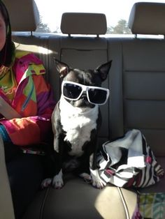 Funny Bosties - Captions and Memes | Boston Terrier Friendzy