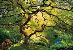 Japanese Maple, Acer palmatum. Oregon, USA By Peter Lik