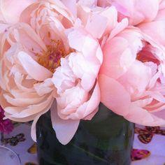 pink peonies in full bloom  #fave #flower #peonies
