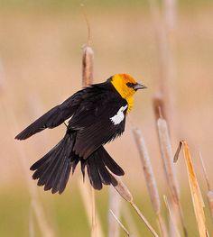 yellow headed blackbird | Yellow-Headed Blackbird | Flickr - Photo Sharing!