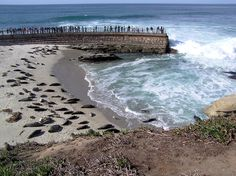 Harbor Seals spread out on the beach at La Jolla Children's Pool