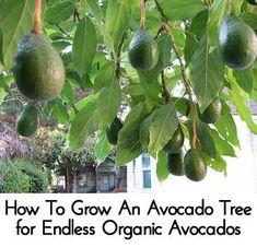 How To Grow An Avocado Tree for Endless Organic Avocados