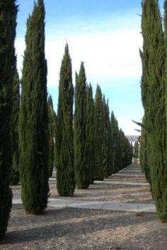 Italian Cypress Trees provide a striking columnar shape & are a bold accent point for your landscape. Best Trees For Privacy, Privacy Trees, Italian Cypress Trees, Cupressus Sempervirens, Online Plant Nursery, Easy Plants To Grow, Fast Growing Trees, Landscaping Plants, Landscaping Ideas