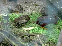 ▶ Baby Chinese Painted Quails and Adult Chinese Painted Quails - YouTube