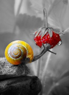 Snail / Strawberry