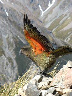 A Kea taking flight, the only alpine parrot in the world