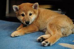 More Ninja. Obsessed with this Shiba Inu cutie.