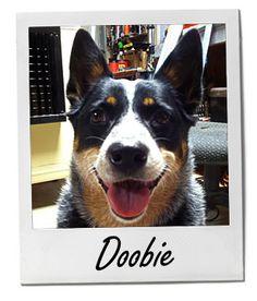 Doobie, POTW for 1/13/14 Breed: Australian Cattle Dog Location: Smyrna, Tennessee Owner: Brenda Whitcomb