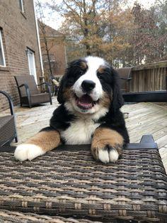 Burmese Mountain Dog Puppy, Bernese Mountain Puppy, Dog Lover Gifts, Dog Gifts, Dog Lovers, Cute Puppies, Cute Dogs, Dogs And Puppies, Cute Little Animals