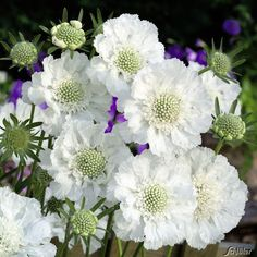 Garden Planning 20 Lovely Moon Garden That WIill Transfrom Your Yard Button Flowers, White Flowers, Beautiful Flowers, Beautiful Moon, White Perennial Flowers, Green Flowers, Simply Beautiful, Garden Cottage, White Gardens