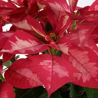 Poinsettias Fact And Fiction With Images Poinsettia Plant Poinsettia Plant Leaves