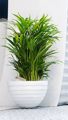 Im loving the Air So Pure plant range. Im going to fill up my home with them! Palm Plant, Palmiers, Air Purifier, Conservation, House Plants, Outdoor Gardens, Planter Pots, Succulents, Pure Products