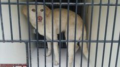 ●1•10•17 SL●~HOUSTON - SUPER URGENT - PLEASE WATCH HER VIDEO!! ~ This DOG - ID#A475128 I am a female, yellow Labrador Retriever. I am about 1 year and 6 months old. I have been at the shelter since Jan 06, 2017. Harris County Public Health and Environmental Services. https://www.facebook.com/harriscountyanimalshelterpets/videos/1382064391857355/