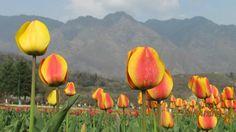 indira-gandhi-tulip-garden.jpg (550×308)