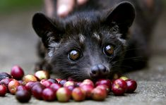 Luwak (Civet Cat)
