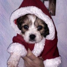 Merry Christmas to me?? Cavachon puppy
