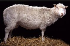 The original Dolly    http://www.nms.ac.uk/our_collections/highlights/dolly_the_sheep.aspx