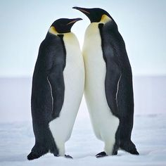 #EmperorPenguins in the #BayofWhales off the #RossSea #IceShelf #Antarctica. #wanderlust #offthegrid #igtravel #igdaily #instagood #instadaily #natgeo #travelchannel #polar #global_hotshotz #world_shotz #adventure #theglobalwanderer #penguin #bird #wildlife_seekers #whywelovenature #lonelyplanet #travelphotography #wildlife_perfection #animalsofinstagram #savetheplanet #instatravel #natgeotravelpic #plasticsurgeon