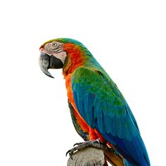 Harlequin Macaw Parrot (A crossing of a Blue and Gold Macaw with a Green-Winged Macaw.)