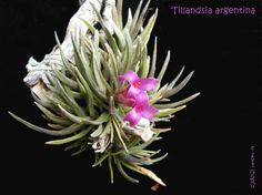 It's Tillandsia ionantha time - Slippertalk Orchid Forum- The best ...