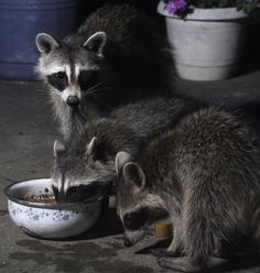 Raccoon family dinner by David Kent on 500px