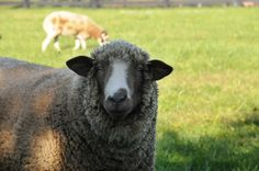 Punkin's Patch: A Nice Sheep