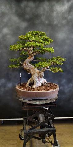Precious Tips for Outdoor Gardens - Modern Bonsai Fruit Tree, Bonsai Tree Types, Bonsai Art, Bonsai Plants, Bonsai Garden, Fruit Trees, Plantas Bonsai, Bonsai Styles, Live Plants