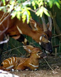 ☀Bongo calf by Ric Stevens Animals Images, Nature Animals, Animals And Pets, Animal Pictures, Baby Animals, Cute Animals, Animal Babies, Cute Creatures, Beautiful Creatures