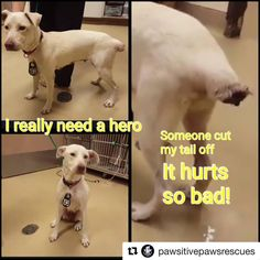 RESCUED❤️❤️#Repost @pawsitivepawsrescues・・・This babygirl is in so much pain and needs pledges/foster so a rescue will pull her. #513270 <<< Possible necrotic tail/medical issue--call shelter for more info >>> UPDATE: TIME EXTENDED!!!! ANIMAL IS STILL NOT SAFE - BUT THE SHELTER STAFF DID EXTEND TIME! THEY ARE DOING THEIR PART TO HELP SAVE THIS ANIMAL. THEY NEED YOUR HELP! To ensure safety, this animal needs an adoption hold by 5:30pm OR a rescue group to claim by 5:50pm THURSDAY 7/19. This…