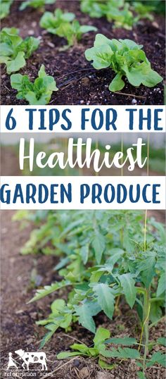 Garden fresh is best! Right? Even fresh isn't good enough if the unhealthy plant is producing unhealthy produce. Use these 6 Tips for the HEALTHIEST Garden Produce! #organic #vegetablegarden #gardentips #garden #homesteading #intensive