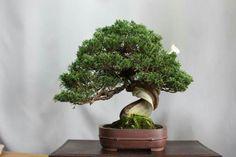 Juniper Bonsai, Japanese Culture, Herbs, Bonsai Trees, Plants, Gardening, Log Projects, Bonsai, Lawn And Garden