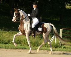 national show horse breed | PHANTOM OF CHACARO homozygous pinto saddlebred stallion