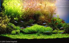 AGA Aquascaping contest 2001 Winner full frontal view of tank