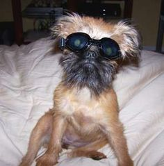Brussels Griffon wearing doggles!