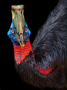 beautiful cassowary #birds