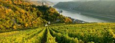 Weinberge am Rhein - Rhineland vinyards