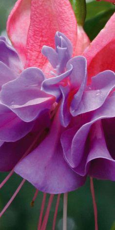 Trailing fuchsia 'Cecile'
