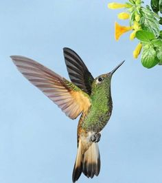 humming birds | of Hummingbirds,collection of Hummingbirds, Hummingbirds, Hummingbirds ...