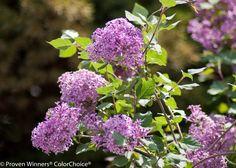 Bloomerang® Purple - Reblooming Lilac - Syringa x