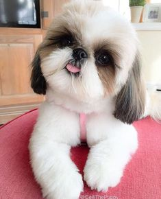 puppies for sale near me shih tzu - puppies for sale near me . puppies for sale near me free . puppies for sale near me cheap . puppies for sale near me 2020 . puppies for sale near me shih tzu . puppies for sale near me pitbull Perro Shih Tzu, Shih Tzu Puppy, Shih Tzus, Baby Shih Tzu, Shitzu Puppies, Cute Puppies, Lab Puppies, Cheap Puppies, Bichon Frise