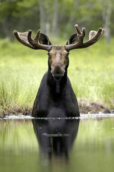 I would give just about anything to live in place where MOOSE were free to roam about and forage the lakes and ponds without fear. I love MOOSE - Even though I know they are very dangerous animals - Vida Animal, Mundo Animal, Nature Animals, Animals And Pets, Cute Animals, Wild Animals, Wild Life, Beautiful Creatures, Animals Beautiful
