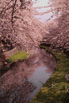 so beautiful   桜 ,cherry blossom, sakura, flor de cerejeira, Japan by Aflânio Tomikawa, via Flickr